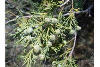 Image of Juniperus occidentalis