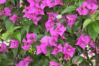 Image of Bougainvillea spectabilis