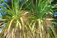 Cordyline australis image