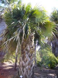 Image of Sabal mexicana