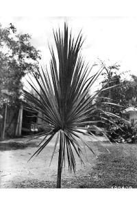 Image of Sabal palmetto