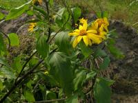 Image of Helianthus tuberosus