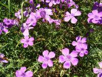 Image of Dianthus chinensis