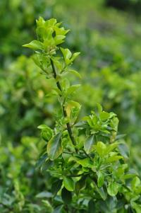 Euonymus fortunei image