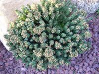 Image of Euphorbia caput-medusae