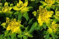 Image of Euphorbia epithymoides