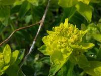 Image of Euphorbia polychroma