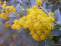 Image of Acacia cultriformis