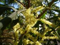Image of Acacia longifolia