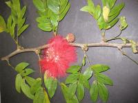 Image of Calliandra haematocephala