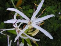 Crinum asiaticum image