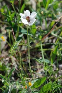 Image of Ranunculus asiaticus