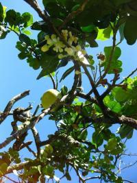Image of Citrus grandis