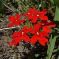 Image of Glandularia peruviana