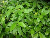 Image of Ruscus hypoglossum