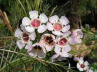 Image of Chamelaucium uncinatum
