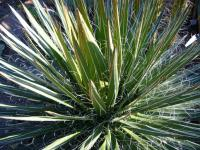 Image of Agave disceptata