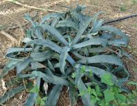 Image of Agave gypsophila