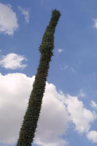 Image of Agave mayoensis