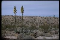 Image of Agave patonii