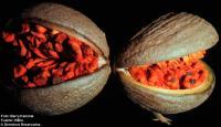 Image of Stemmadenia donnell-smithii