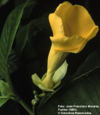 Image of Stemmadenia obovata