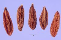 Image of Cryptostegia madagascariensis