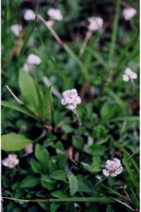 Image of Antennaria plantaginifolia