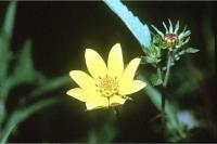 Image of Bidens aristosa