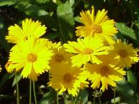 Image of Coreopsis pubescens