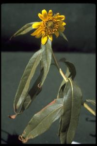 Image of Helianthus californicus