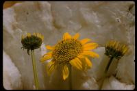 Image of Helianthus gracilentus