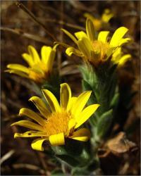 Heterotheca sessiliflora image