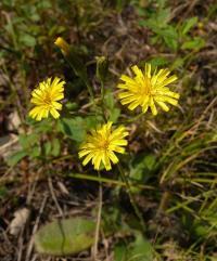 Image of Hieracium gronovii