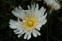 Malacothrix saxatilis image