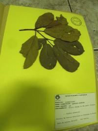 Image of Tabebuia ochracea