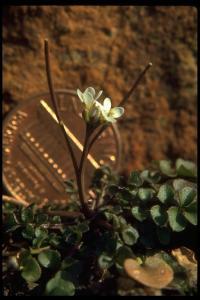 Image of Cardamine oligosperma