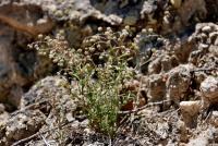 Image of Spergularia diandra