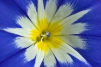 Image of Convolvulus tricolor