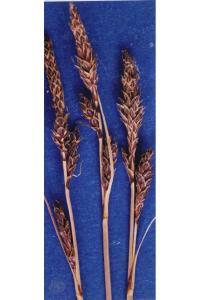 Image of Carex parryana