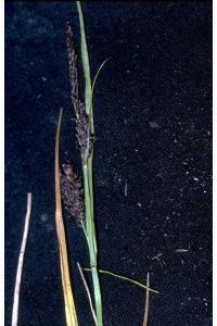 Image of Carex saxatilis
