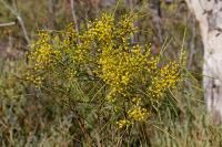 Image of Acacia adunca