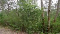Acacia binervata image