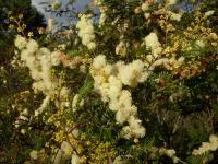 Image of Acacia botrycephala