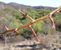 Image of Acacia furcatispina