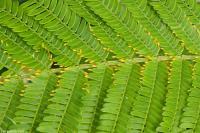 Image of Acacia hindsii