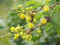 Image of Acacia karroo