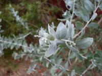 Image of Acacia podalyriifolia