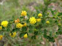 Image of Acacia pulchella