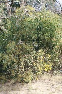 Acacia pycnantha image